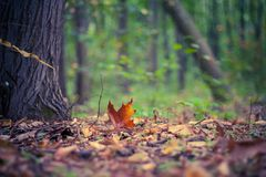 Oaken lämnar i en höstskog Arkivbilder