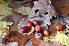 Oaken lämnar och ekollonar Royaltyfria Foton