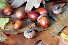 Oaken lämnar och ekollonar Fotografering för Bildbyråer