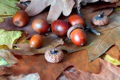 Oaken lämnar och ekollonar Royaltyfri Fotografi