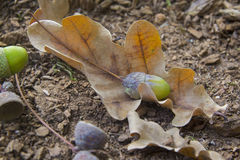 Oaken leaves and acorns. Close-up. Lying on the ground Royalty Free Stock Images