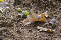 Oaken leaves and acorns. Close-up. Lying on the ground Stock Photos