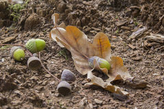 Oaken leaves and acorns. Close-up. Lying on the ground Royalty Free Stock Image