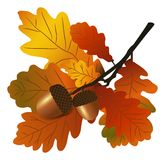 Oakfilial med ekollonar Royaltyfri Fotografi