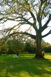 oakfjädertree Arkivbild