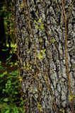 oakgift Arkivbild
