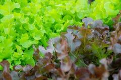 Oakleaf莴苣,在整个背景的波纹状的莴苣 免版税库存图片