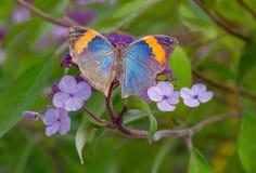 Oakleaf Butterfly. An Oakleaf Butterfly (Kallima inachus) on Hydrangea Aspera Flower Stock Images