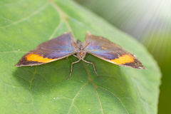 Oakleaf Butterfly Stock Photography