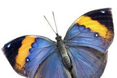 Oakleaf  butterfly (Kamilla paralekta) Stock Photos