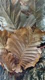 Oakleaf fern on tree Royalty Free Stock Photography