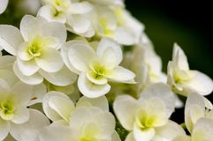 Oakleaf hydrangea Stock Photo