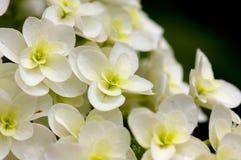 Oakleaf hydrangea. The close-up shot of the Oakleaf hydrangea Stock Photo