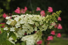 Oakleaf Hydrangea. Blossoming oakleaf hydrangea head stands out in sharp contrast to the colorful geranium blooms behind Royalty Free Stock Photo