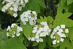 Oakleaf hydrangea, flowers and leaves. Panicles in blooming and leaves of oakleaf hydrangea plant royalty free stock photography