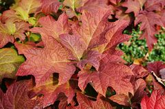 Oakleaf hydrangea (hortensia quercifolia). Colorful leaves of oakleaf hydrangea (hortensia quercifolia) in the fall Royalty Free Stock Image