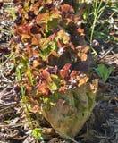 Oakleaf-Kopfsalat im kichen Garten Stockbilder