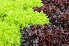 Oakleaf lettuce, corrugated lettuce. On entire background Stock Image