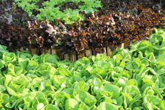 Oakleaf lettuce, corrugated lettuce Royalty Free Stock Photo