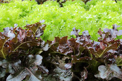 Oakleaf lettuce, corrugated lettuce Stock Photos