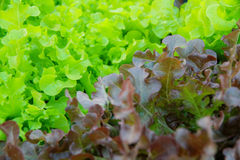 Oakleaf lettuce, corrugated lettuce on entire background Royalty Free Stock Image