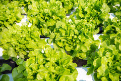 Oakleaf lettuce, corrugated lettuce Royalty Free Stock Images