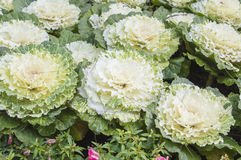 Oakleaf lettuce Royalty Free Stock Photo