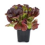 Oakleaf lettuce salad Stock Photos