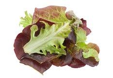Oakleaf lettuce salad Stock Image
