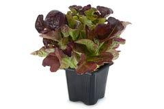 Oakleaf lettuce salad. Closeup isolated on white Royalty Free Stock Photo