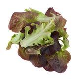 Oakleaf lettuce salad Royalty Free Stock Image