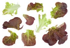 Oakleaf lettuce salad Royalty Free Stock Photo