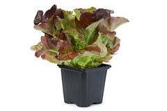 Oakleaf lettuce salad Stock Photography