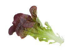 Oakleaf lettuce salad. Closeup isolated on white Royalty Free Stock Photography