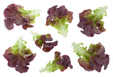 Oakleaf lettuce salad set. Oakleaf lettuce salad collection closeup isolated on white Royalty Free Stock Photo