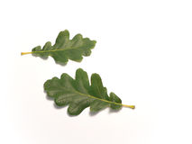 Oakleaves. Two oak leaves against white background Royalty Free Stock Photos