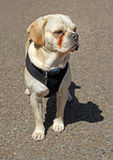Oakley собака puggle Стоковое Изображение RF