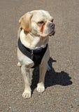 Oakley der puggle Hund Lizenzfreies Stockbild