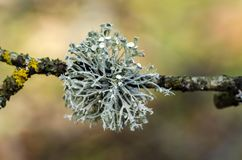 Free Oakmoss On The Branches In Garden Royalty Free Stock Photography - 138969697