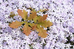 oakplanta Royaltyfria Bilder
