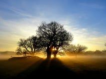 Oaks back lit by setting sun royalty free stock photo