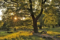 Oaks in early summer Richmond Park London royalty free stock images
