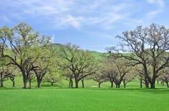 Oaks and Grass stock photos