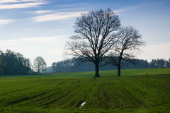 Oaks on green field Royalty Free Stock Image