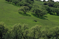 Oaks on a Green Hill Royalty Free Stock Photography