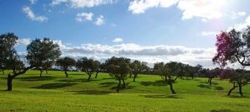 Oaks on green meadow. 4 Stock Photography
