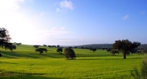 Oaks on green meadow. 7 Stock Image