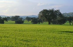 Oaks on green meadow. 9 Royalty Free Stock Photo