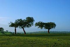 Oaks on green meadow. 12 Royalty Free Stock Photos