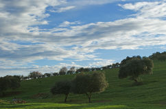 Oaks on green meadow with cloudy blue sky Stock Images